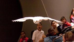 Snowy Owl World of Birds Show